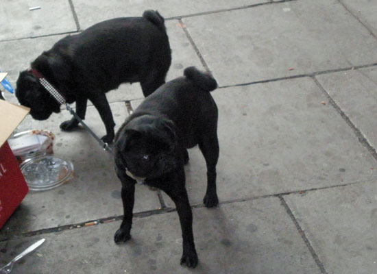 Pugs 'walking' each other in Notting Hill