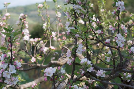 Villa_la_Ripa_blossoms