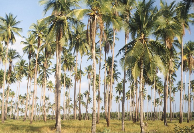 Palawan_-_Palm_Forest